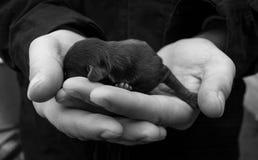 Het pasgeboren puppy ligt in de handen van de mens Babyhond Zwarte en whit royalty-vrije stock afbeelding