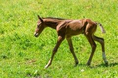 Het pasgeboren veulen eerst in werking gesteld doen royalty-vrije stock foto