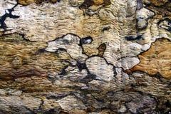 Het patroon en de textuur van de boomschors Royalty-vrije Stock Afbeeldingen