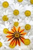 Het patroon van Daisy en van gazania Stock Afbeeldingen