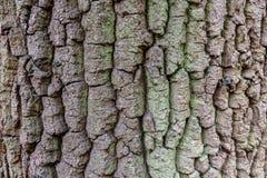 Het patroon van de boomboomstam Stock Foto's