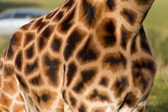 Het patroon van de camouflage op een giraf Stock Afbeelding