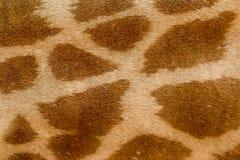 Het patroon van de girafhuid Het close-up van het girafbont stock foto's