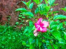 Het patroon van de hibiscusbloem Stock Afbeelding