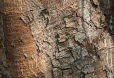 Het patroon van de oude Bodhi-boom in de zomer van Thailand royalty-vrije stock afbeeldingen