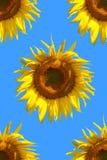 Het patroon van de zonnebloem stock foto