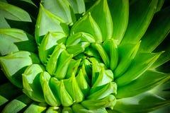 Het patroon van het agaveblad close-up Macro Royalty-vrije Stock Afbeelding