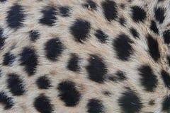 Het patroon van het jachtluipaardbont Stock Fotografie