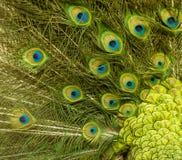 Het patroonachtergrond van de pauwveer stock afbeeldingen