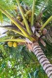Het perspectiefmening van de kokosnotenpalm stock afbeelding