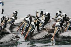 Het Peruviaanse pelikaan voeden in groep stock afbeelding