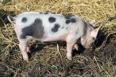 Het piggy varken op het landbouwbedrijf Klein varken buiten het graven vuil het spelen op landbouwbedrijf royalty-vrije stock foto