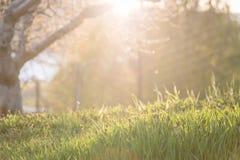 Het plaatsen van zon die door de takken van de appelboom op nieuw de lentegras glanzen royalty-vrije stock afbeeldingen