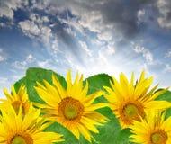 Het plaatsen van zon over de zonnebloemen royalty-vrije stock afbeeldingen
