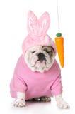Het plagen van het Pasen-konijntje Stock Foto