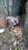 Het plakkende hoofd van de babywasbeer uit hol stock fotografie
