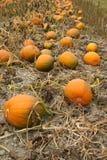 Het Plantaardige Groeien Autumn Pumpkins Harvest R van Halloween van de landbouwbedrijfscène Stock Afbeeldingen
