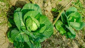 Het plantaardige planten royalty-vrije stock afbeeldingen