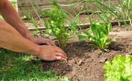 Het planten in de tuin Stock Foto