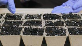 Het planten en het water geven zaden in kleine potten met een grond stock videobeelden