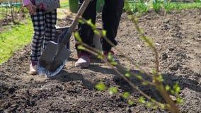 Het planten van aardappelzaden in de tuin stock footage