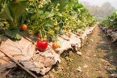 Het planten van aardbeien Stock Afbeelding