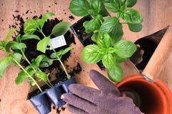 Het planten van basilicum Stock Foto