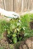 Het planten van bloem, het tuinieren Stock Afbeelding
