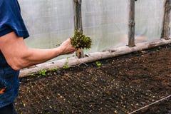 Het planten van bloemen en struiken in de serre Een vrouw in haar hand houdt de stammen van installaties en selecteert een plaats royalty-vrije stock foto