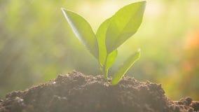 Het planten van boomspruit stock footage