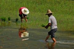 Het planten van de rijst Stock Afbeelding