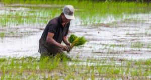 Het Planten van de rijst Royalty-vrije Stock Afbeeldingen