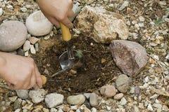 Het planten van de Spruit van de Boom van de Pijnboom Royalty-vrije Stock Fotografie