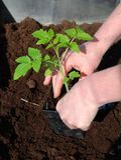 Het planten van de tomaat Royalty-vrije Stock Foto's