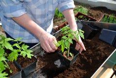 Het planten van de tomaat Royalty-vrije Stock Fotografie