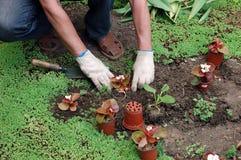 Het planten van de zaailingen Stock Fotografie