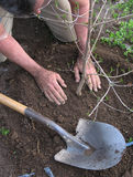 Het planten van een boom Stock Foto