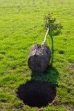 Het planten van een boom Stock Afbeeldingen
