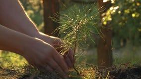 Het planten van een jong boompje van de pijnboomboom als symbool van de geboorte van het nieuw leven stock videobeelden