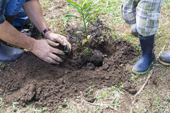 Het planten van een nieuwe boom Stock Foto