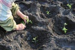 Het planten van een tomatenzaailing Royalty-vrije Stock Fotografie