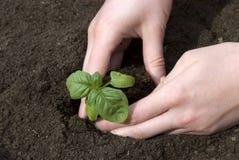 Het planten van een zaailing Stock Foto's