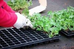Het planten van geranium Stock Afbeeldingen