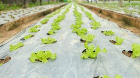 Het planten van groenten royalty-vrije stock fotografie