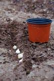Het planten van knoflook in de grond Stock Foto's
