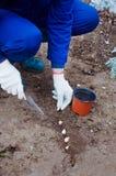 Het planten van knoflook in de grond Stock Foto