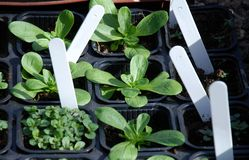 Het planten van kruiden Royalty-vrije Stock Foto
