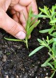 Het planten van lavendel stock afbeeldingen