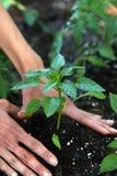 Het planten van Peper stock foto's