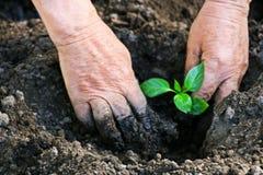 Het planten van peper in de lente stock afbeeldingen